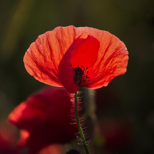 Poppy by alfpics