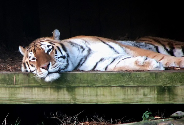 Tiger at rest by starckimages
