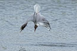 Black headed gull diving...