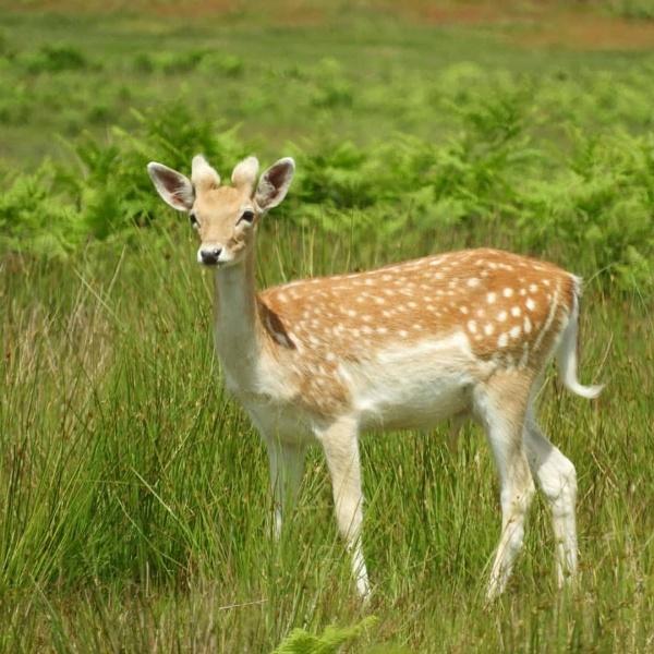 Deer by Chelle65