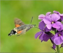 Hummingbird Hawk-moth.