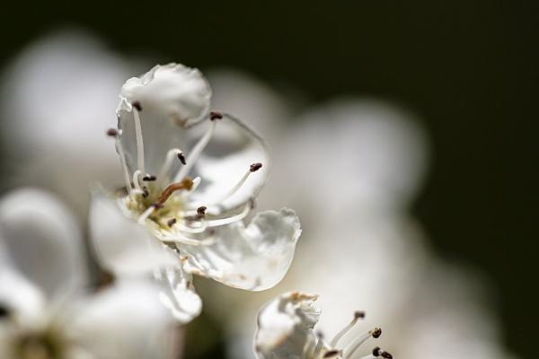 Hawthorn Blossom by xbolt