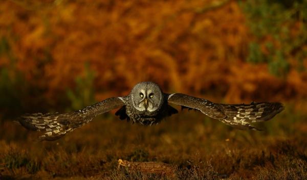 Great Grey Owl by edward_payne_photography