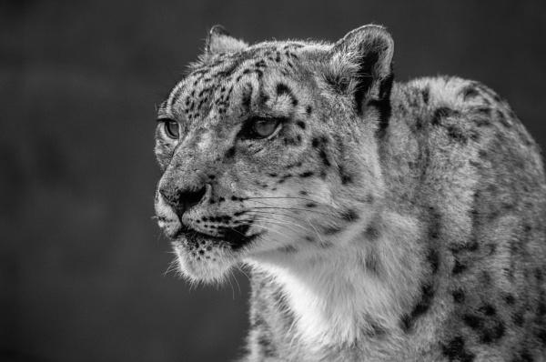Snow Leopard pose by edward_payne_photography