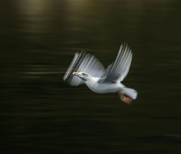 Seagull in flight by edward_payne_photography