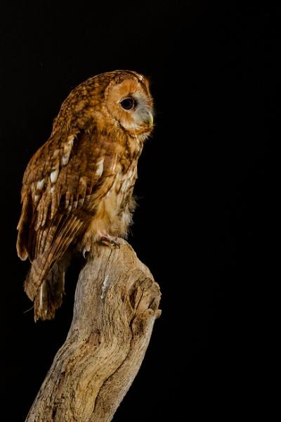 Tawny Owl Pose by edward_payne_photography
