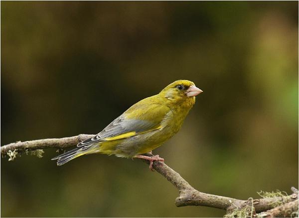 Greenfinch by MalcolmM