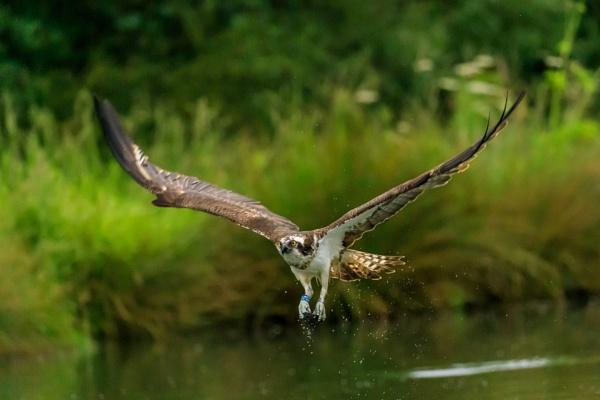 Fishless Osprey