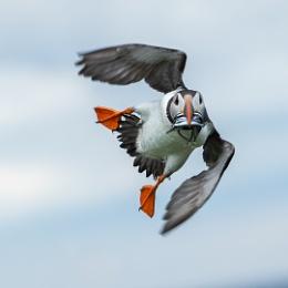 Acrobatic Puffin.