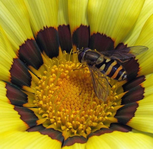 Hoverfly on gazania by oldgreyheron