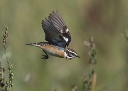 Whinchat in flight
