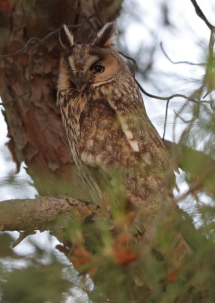 Long Eared Owl by NeilSchofield