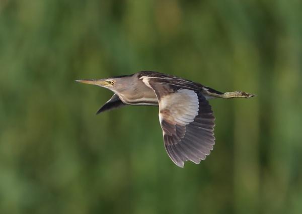 Little Bittern in Flight by NeilSchofield