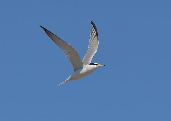 Little Tern in Flight by NeilSchofield