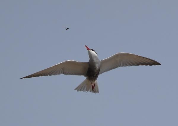 Whiskered Tern in Flight