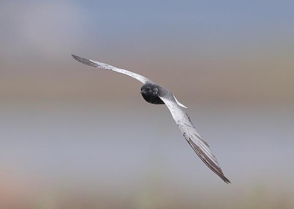 White Winged Tern by NeilSchofield