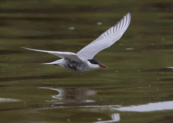 Whiskered Tern in Flight by NeilSchofield