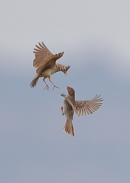 Crested Lark Fight by NeilSchofield