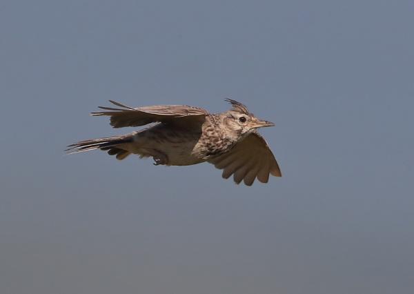 Crested Lark in Flight by NeilSchofield