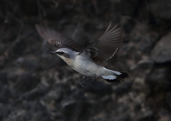 Wheatear in Flight by NeilSchofield