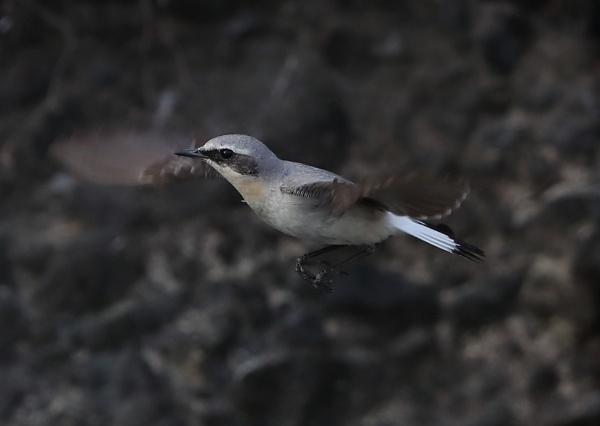 Wheatear in Flight by NeilSchofield