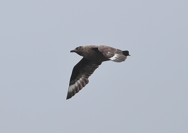 Juvenile Skua in Fligh by NeilSchofield