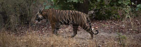 tiger walking by by oneeyeshut