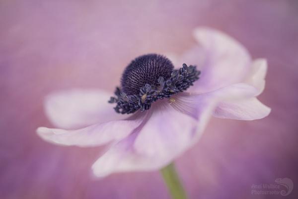 Pastel Anemone by Angi_Wallace