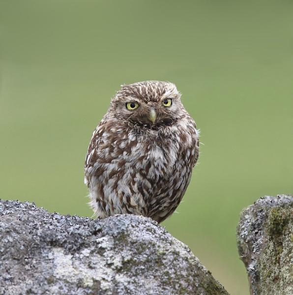 Little Owl Fledgling by HenB