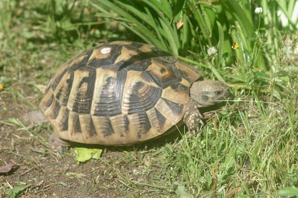 Corfu Tortoise by TonyDy