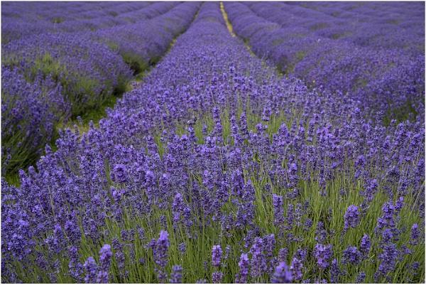 Lavender Field by Lillian