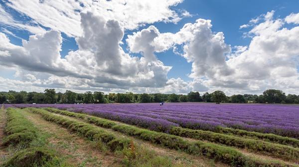 BANSTEAD, SURREY/UK - JULY 22 : Lavender Field in Full Bloom in by Phil_Bird