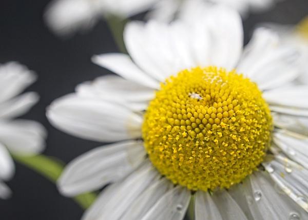 Wild daisy by EddyG