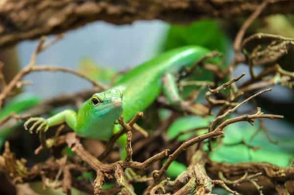 Green Lizard by chavender