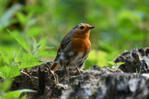 Mr Scruffy Robin by ShaunsPics