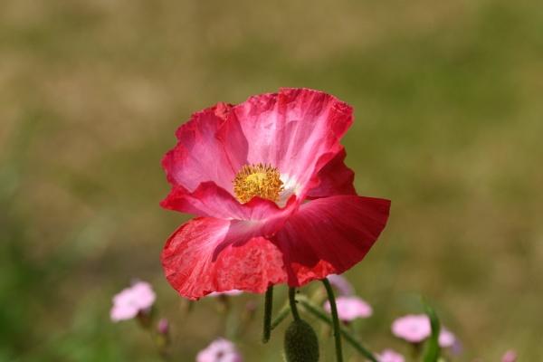 Garden Poppy by ShaunsPics