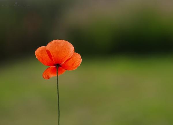 poppy by senn