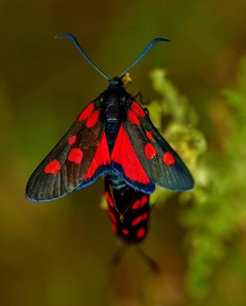 Burnet moths by georgiepoolie