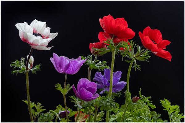 Anemone Assortment by capto
