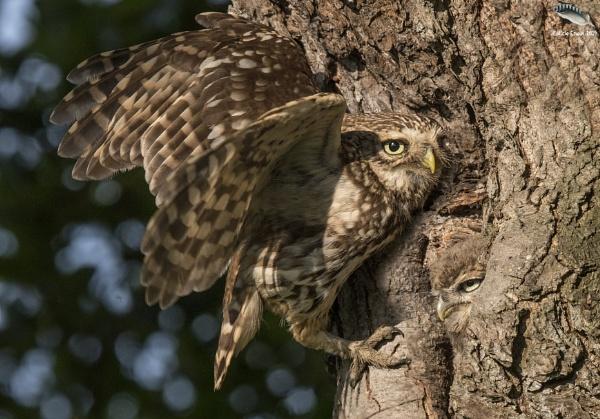 Little Owl & Owlet by mufftrix