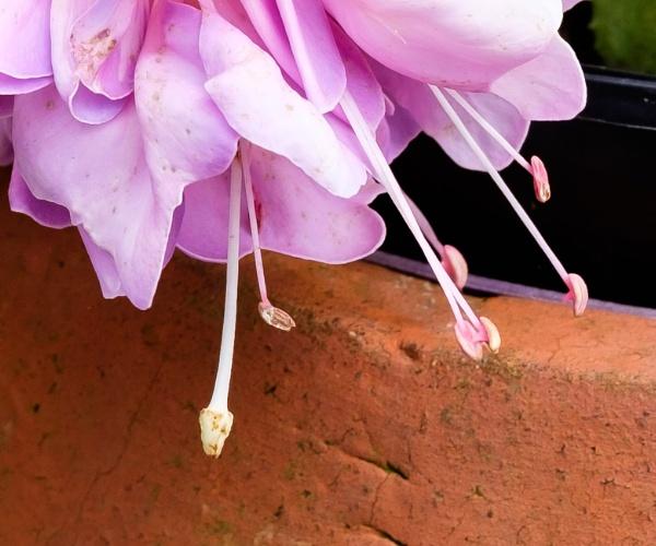 Fuchsia stamen by Nikonuser1