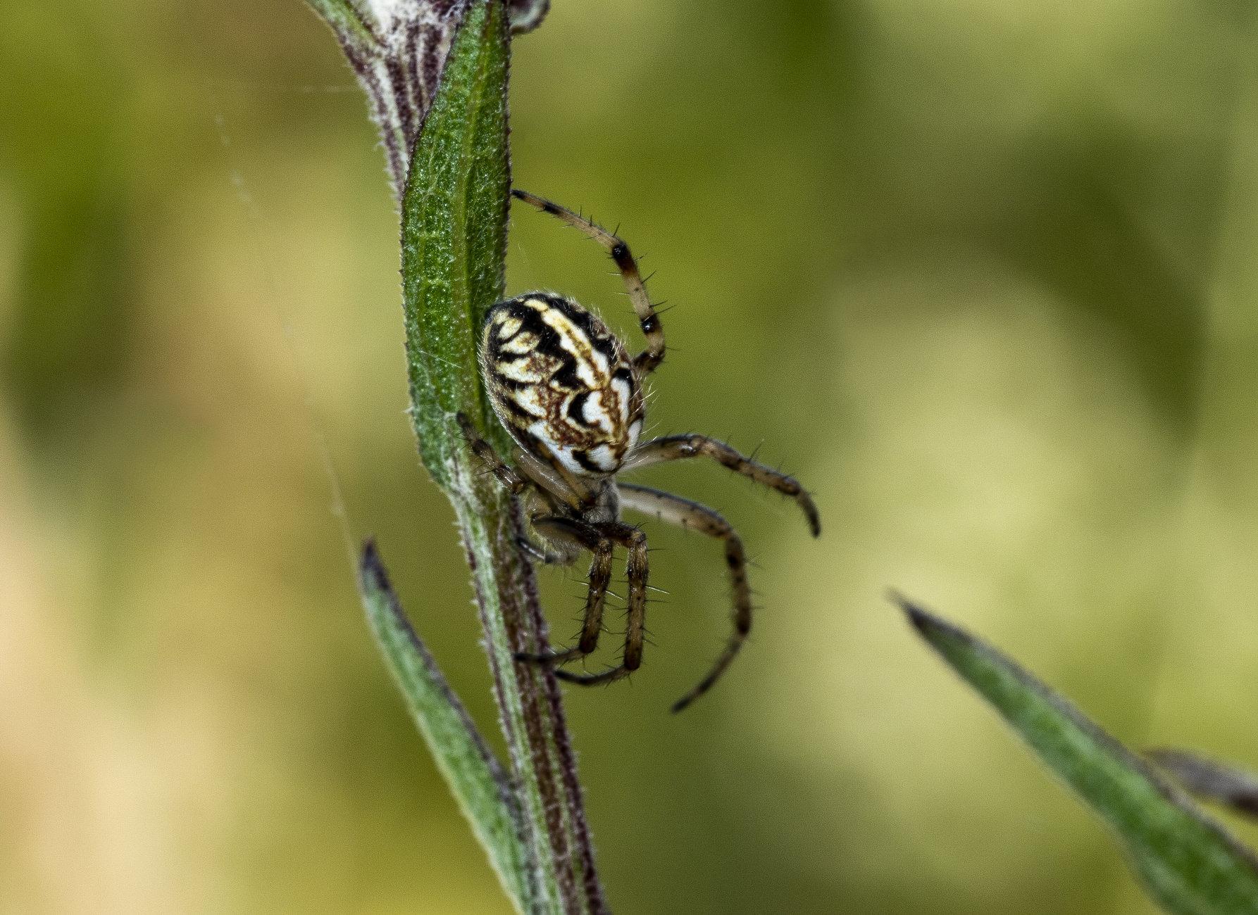 Spider ?
