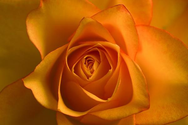 Rose in the sunlight by deavilin