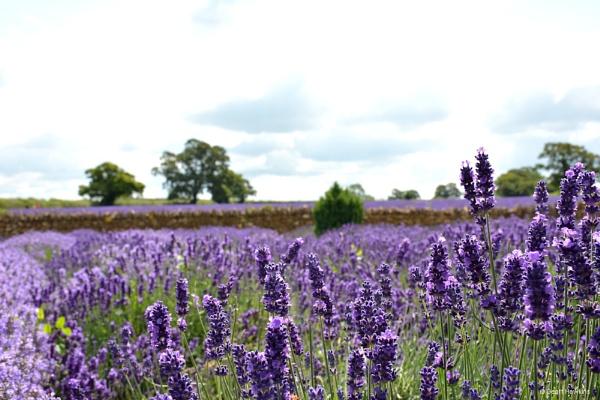 Somerset Lavender by Irish_Rover