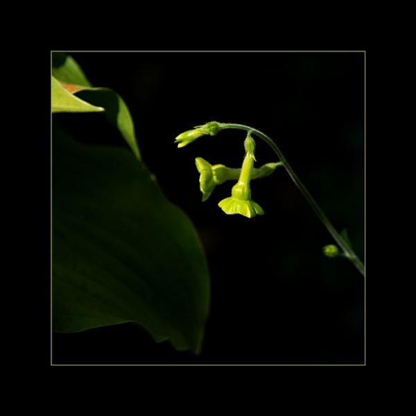 Hosta and Nicotiana by taggart