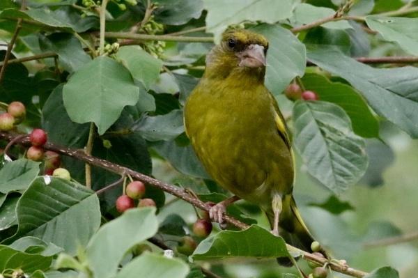 Green finch by Lencollard