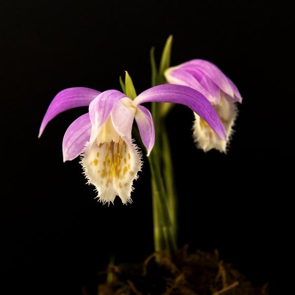 Orchid - Pleione Formosana by TrotterFechan