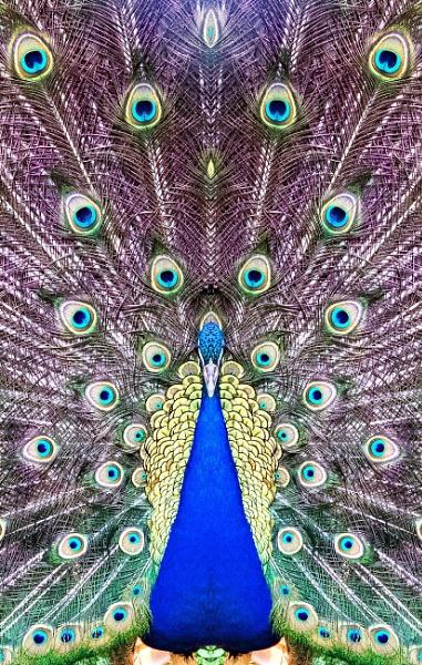 peacock by aldasack1957