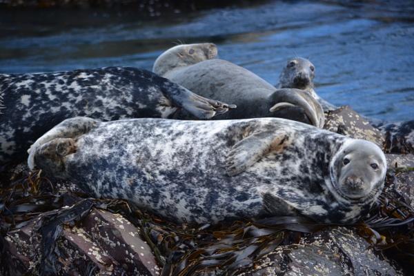 Farne Islands grey seals by jimbob133