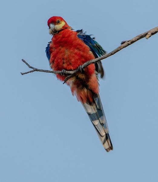 Ruffled feathers by Heyneker